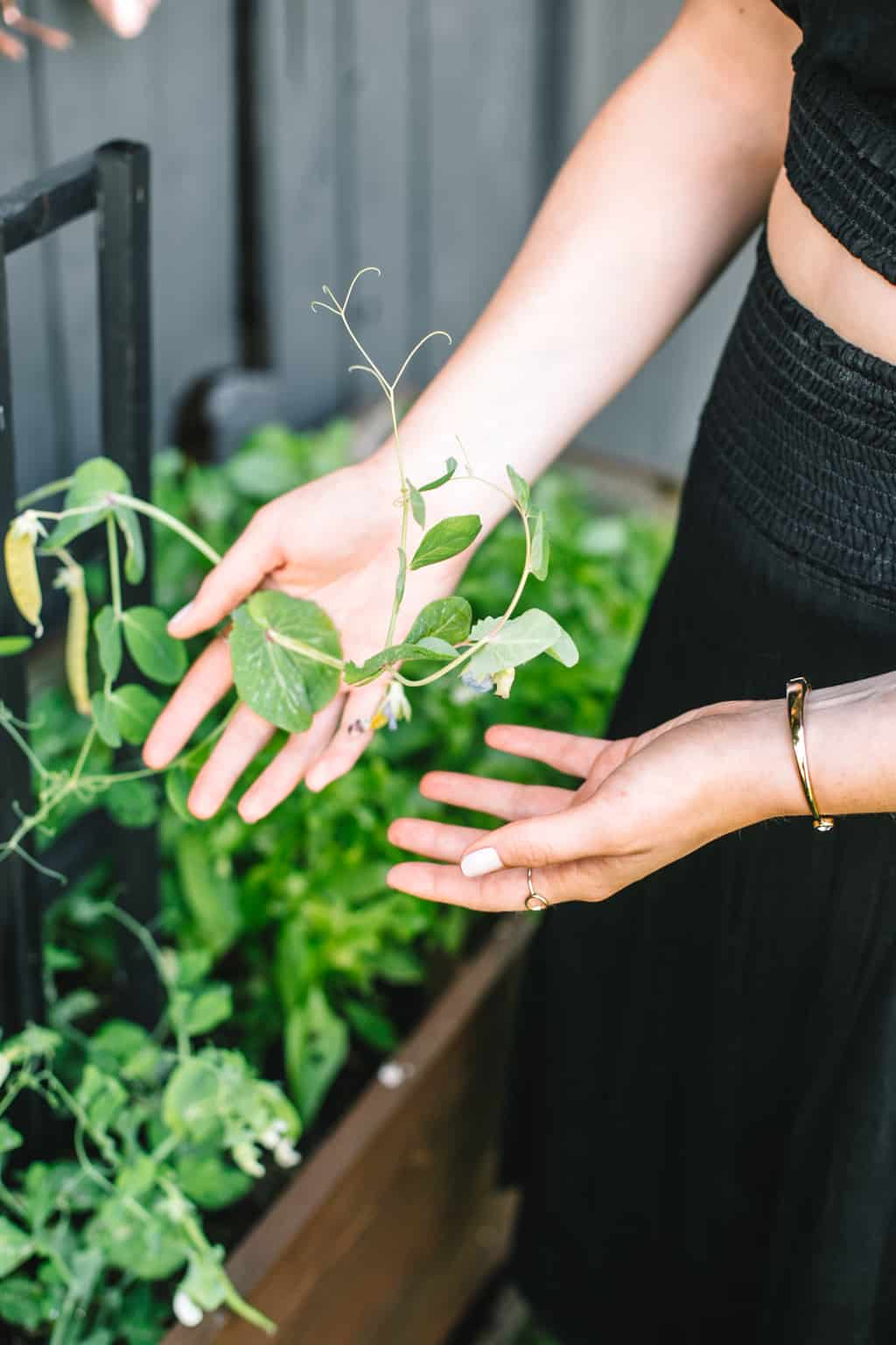 Holding a pea plant in a vegetable garden