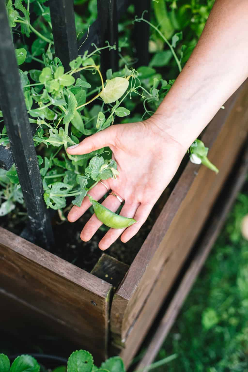 Holding a pea plant in a garden planter.